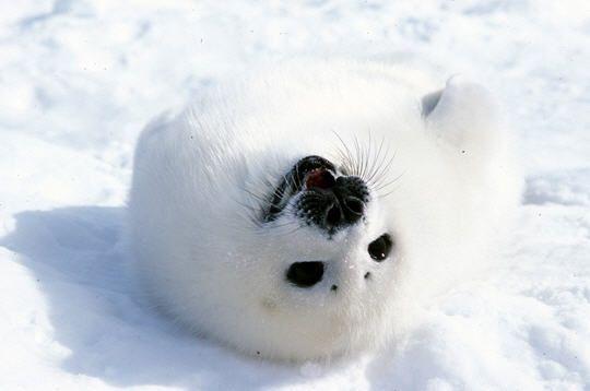 Le grand concours d 39 image de phoque blanc sur poney - Jeux d animaux trop mignon ...